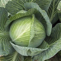 Семена капусты Гигант F1, Clause 2 500 семян | профессиональные