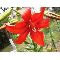 Лилия азиатская Ибарра, луковичные (1 шт)