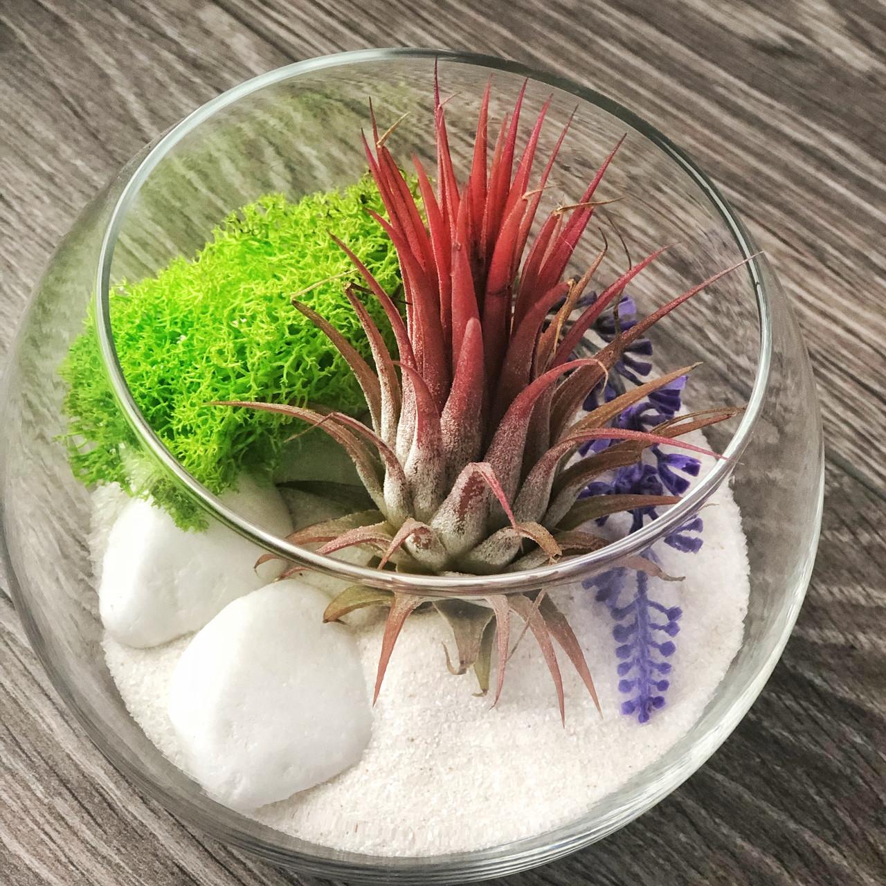 Флорариум с тилландсией Ионантой Рэд