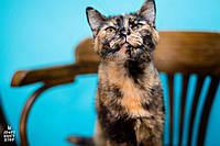 Кошка Ичиго (окрас черепаховый) ищет дом и заботливых хозяев