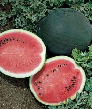 Семена арбуза КС 160 F1, Kitano 1 000 семян | профессиональные