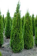 """Саженцы Туя западная """"Смарагд"""" (Thuja occidentalis 'Smaragd'). Высота 1,6 м."""