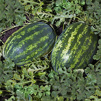 Семена арбуза Шейни F1 (КС 163 F1), Kitano 1 000 семян   профессиональные