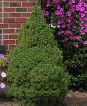 Ялина канадська  Picea glauca Conica, 1.5л. - 120грн.,5л. - 350грн.
