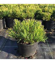 Сосна гірська Пуміліо Pinus mugo var. pumilio недорого