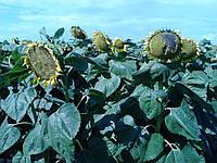 Семена подсолнечника Италика, FITO SEMILLAS (Испания)