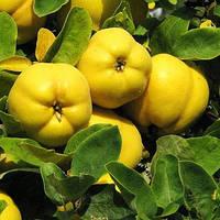 Айва яблоковидная открытая корневая система