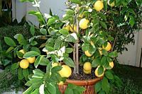 """Лимон """"Мейера"""" контейнер, 20-30см"""