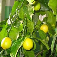 """Лимон """"Павловский"""" контейнер (20-30см)"""