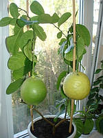 Лимон Пандероза 40см