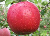 Яблоня Фуджи Кику 8   открытая корневая система