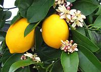 Лимон Новогрузинский контейнер