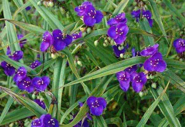 Традисканция (Tradescantia) виргинская фиолетовая