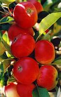 """Колоновидная яблоня """"Элита"""" открытя корневая система"""