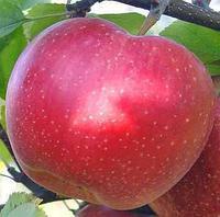 Яблуня Джонаголд Моренс відкрита коренева система