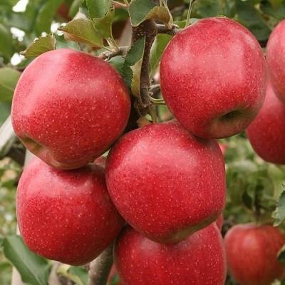 Яблоня карликовая Дискавери  открытая корневая система