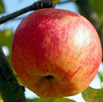 """Пізня яблуня """"Бребурн"""""""