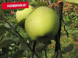 """Яблоня поздняя """"Грин Схем"""""""