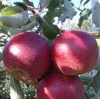 Яблоня Фукутами