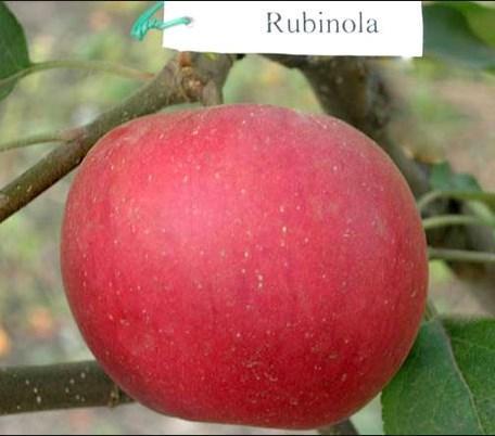 """Яблоня """"Рубинола"""" (Чехия)"""