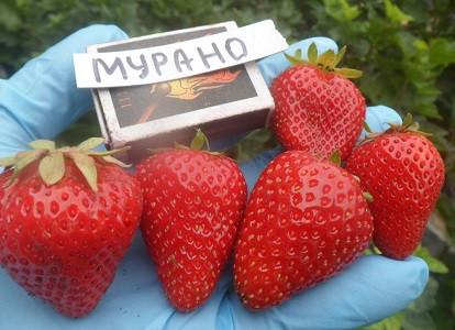 "Клубника ремонтантная ""Мурано"""
