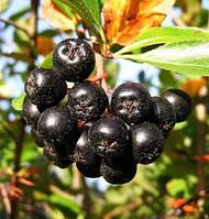 "Рябина черноплодная ""Викинг""\Aronia ×prunifolia 'Viking'"