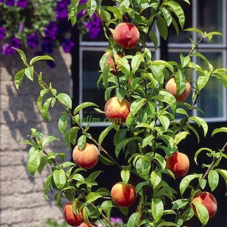 Персик колоновидный Pigmy Bonanza (Пигми Бонанза)
