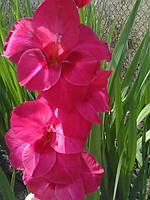 """Гладиолус """"Розово-красный"""" от 4 см."""