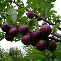 Сливово-вишневый гибрид карликовый «Мейнор»