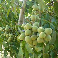 Грецкий орех Tulare (Тулар) США 3 года