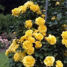 Роза в'юнка Казино