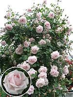 Роза плетистая Нью Даун