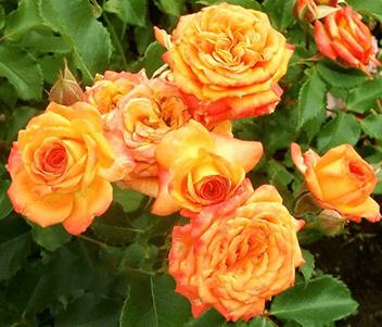 Роза бордюрная Клементина