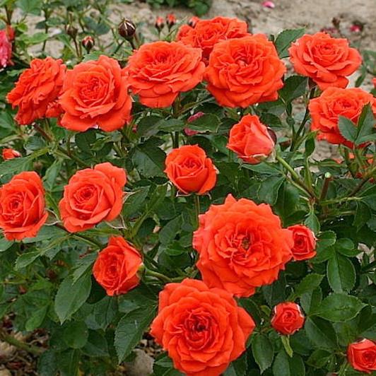 Роза бордюрная Оранж Микадо