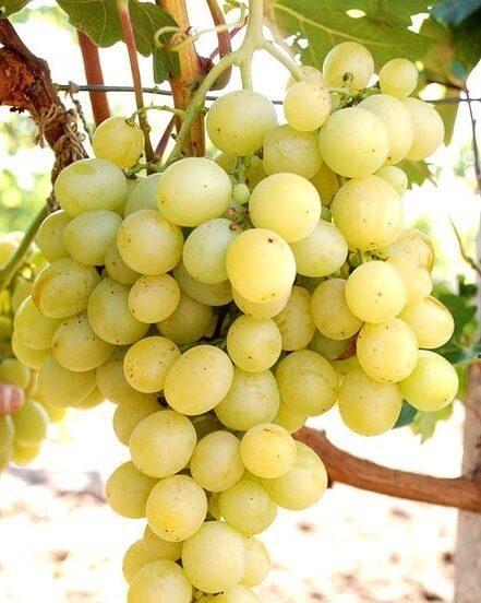 Виноград Аркадия ОКС