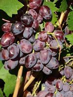 Виноград Харитон  открытая корневая система