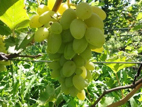 Виноград Сіртакі