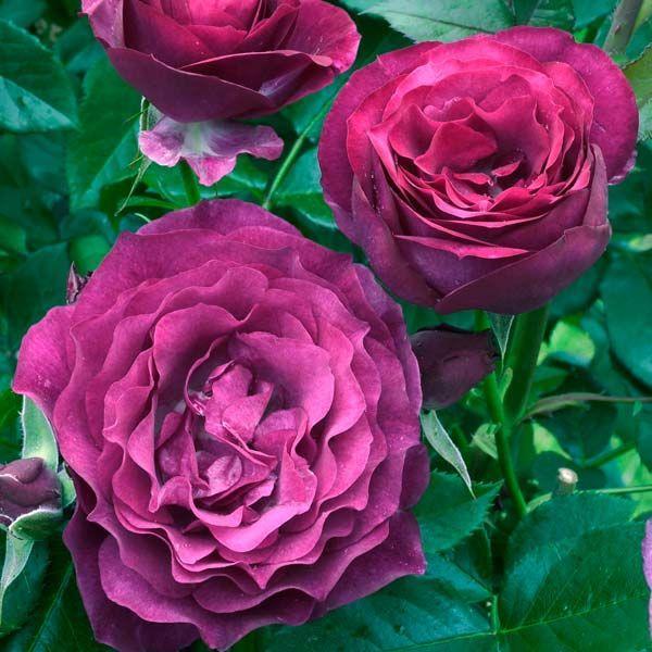 Троянда флорибунда Блю Іден
