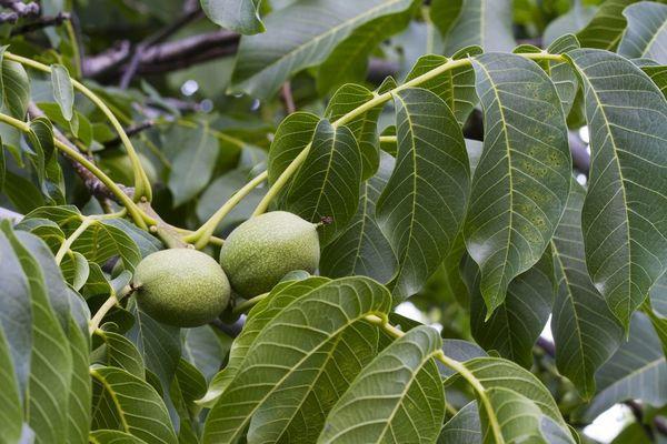 Грецкий орех Прикарпатский 3-х годичный