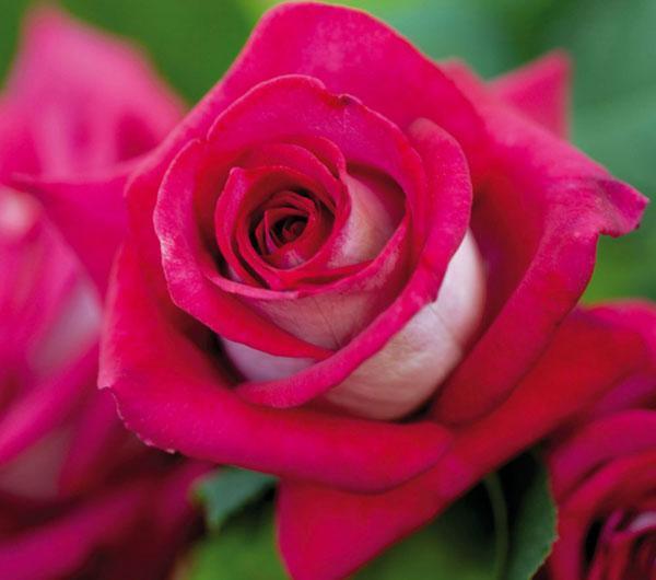 Роза чайно-гибридная Моника Беллуччи