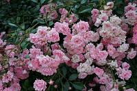 Роза почвопокровная Зе Фейри/The Fairy