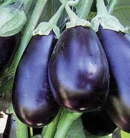 Семена баклажана Прадо F1, Kitano 250 семян