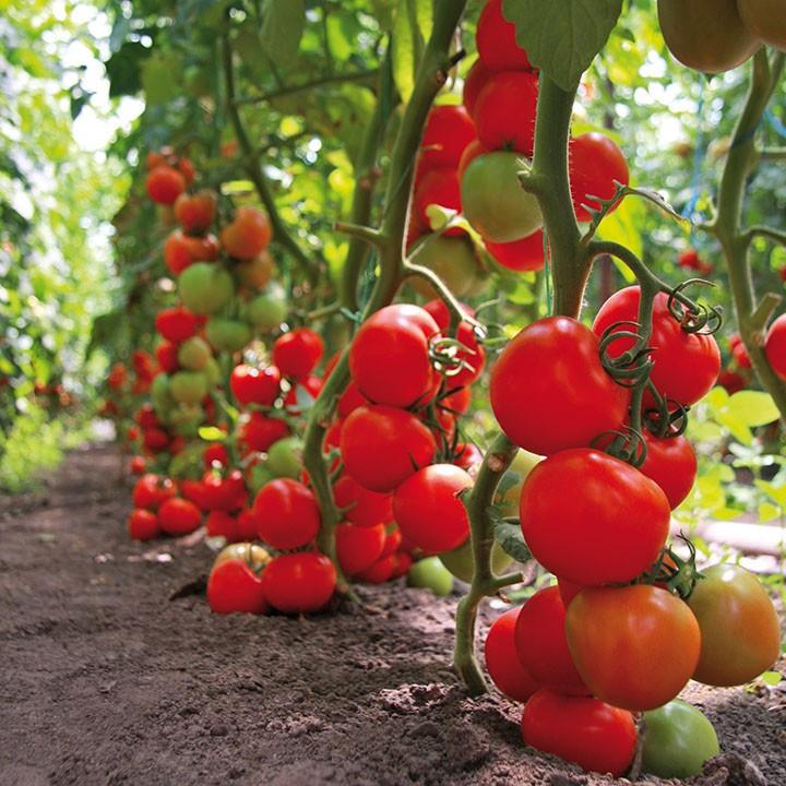 ТАЙЛЕР F1 (1000шт) - Насіння томату індетермінантного, Kitano Seeds