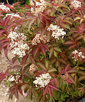 Бузина чорна Серенада (Sambucus nigra Serenade)