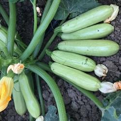 Семена кабачка КС 2446 F1, Kitano 250 семян   профессиональные