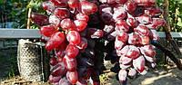 Саджанці винограду БАЙКОНУР раннього терміну дозрівання