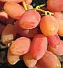 Саженцы винограда КАТРУСЯ КАХОВСКАЯ раннего срока созревания