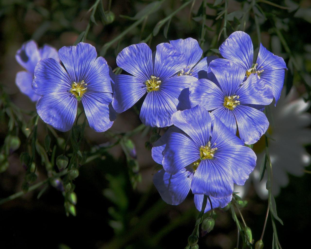 Лен посевной, или обыкновенный (Linum usitatissimum L.) 500 грамм