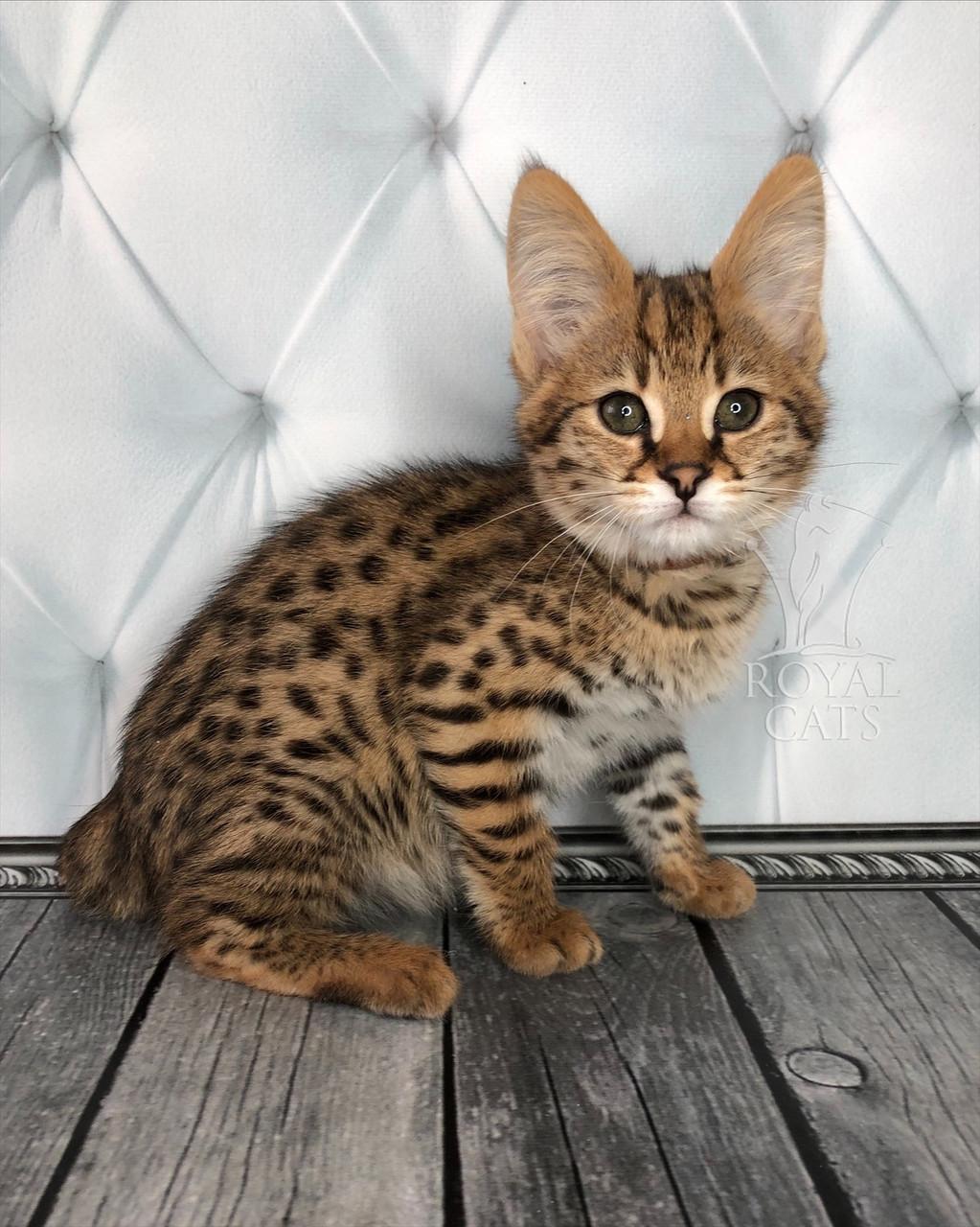 Котёнок Саванна Ф1, (browncollar) родился 25/11/18 в питомнике Royal Cats