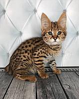 Котёнок Саванна Ф1, (browncollar) родился 25/11/18 в питомнике Royal Cats, фото 1